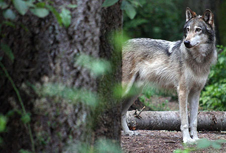 Gray Wolf photo, Pacific Northwest photo tours