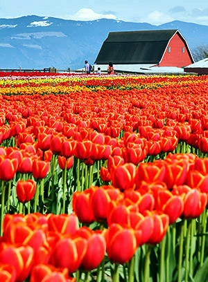 Skagit Valley Tulip Festival photo tours